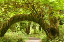 オリンピック国立公園の苔生す木の画像027