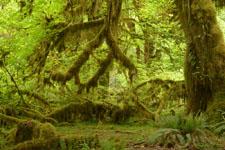 オリンピック国立公園の苔生す木の画像028
