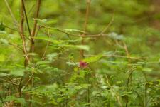オリンピック国立公園の苔生す木の画像029