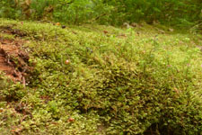 オリンピック国立公園の苔生す木の画像030
