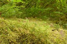 オリンピック国立公園の苔生す木の画像031