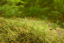 オリンピック国立公園の苔生す木の画像032