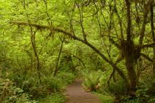 オリンピック国立公園の苔生す木の画像034