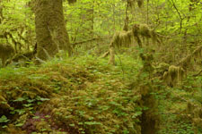 オリンピック国立公園の苔生す木の画像035