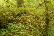 オリンピック国立公園の苔生す木の画像036