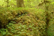 オリンピック国立公園の苔生す木の画像037