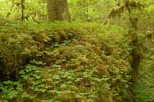 オリンピック国立公園の苔生す木の画像038