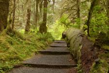 オリンピック国立公園の苔生す木の画像039