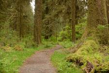 オリンピック国立公園の苔生す木の画像040