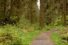 オリンピック国立公園の苔生す木の画像041