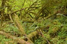 オリンピック国立公園の苔生す木の画像042