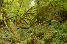 オリンピック国立公園の苔生す木の画像043
