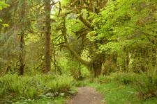 オリンピック国立公園の苔生す木の画像044