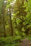 オリンピック国立公園の苔生す木の画像045