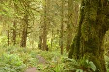 オリンピック国立公園の苔生す木の画像046