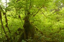 オリンピック国立公園の苔生す木の画像047