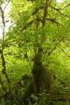 オリンピック国立公園の苔生す木の画像048
