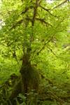 オリンピック国立公園の苔生す木の画像049