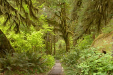 オリンピック国立公園の苔生す木の画像050