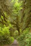オリンピック国立公園の苔生す木の画像051