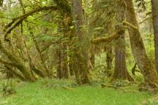 オリンピック国立公園の苔生す木の画像052