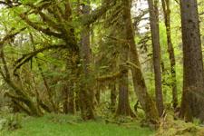 オリンピック国立公園の苔生す木の画像053