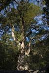 屋久島の杉の画像001