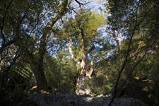 屋久島の杉の画像002
