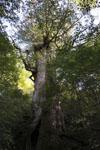 屋久島の杉の画像003