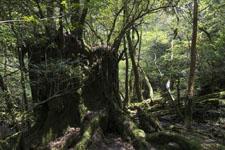 屋久島の杉の画像007