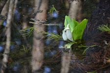 花の水芭蕉の花の画像004