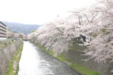 琵琶湖疏水の桜の画像001