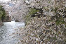琵琶湖疏水の桜の画像002