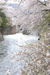 琵琶湖疏水の桜の画像005