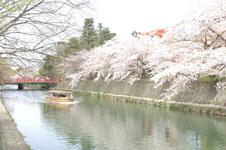 平安神宮のお堀の桜と屋形船の画像006