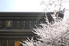知恩院の山門と桜の画像001