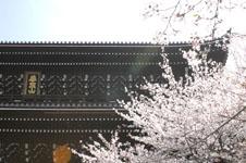 知恩院の山門と桜の画像002