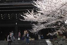 知恩院の山門と桜の画像003