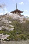 清水寺の五重塔と桜の画像001
