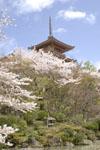 清水寺の五重塔と桜の画像002
