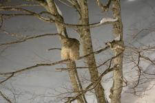 中標津のシマフクロウの画像012