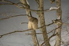 中標津のシマフクロウの画像013