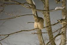 中標津のシマフクロウの画像014