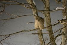 中標津のシマフクロウの画像015