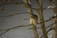 中標津のシマフクロウの画像016