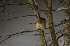 中標津のシマフクロウの画像017