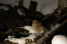 中標津のシマフクロウの画像025