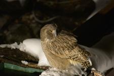 中標津のシマフクロウの画像027