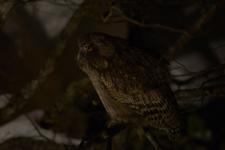 中標津のシマフクロウの画像028