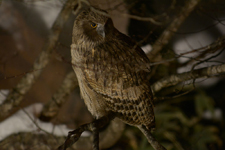 中標津のシマフクロウの画像033